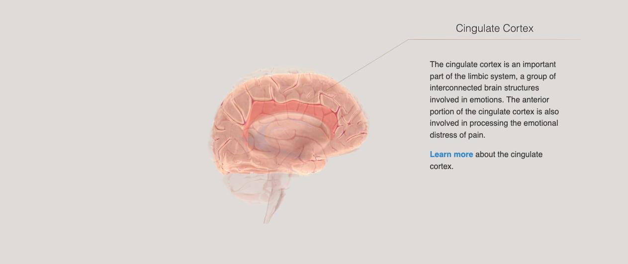 cerebro conservador y cerebro liberal